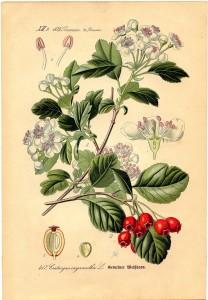 botanical-berry-Graphics-Fairy-sm
