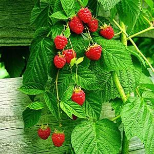 Herb-Raspberry-Leaf-Rubus-Idaeus-e1325643821844